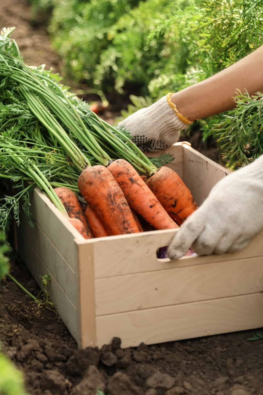 Do Carrots Go Bad