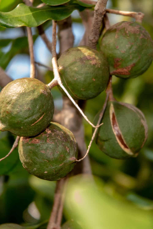 How long Do Macadamia Nuts Last