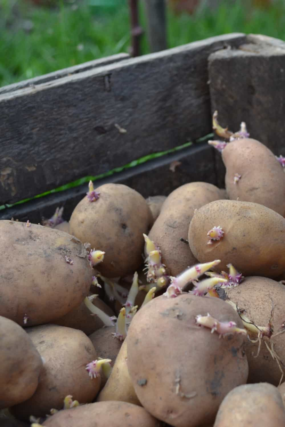 The Risk of Consuming Expired Potatoes