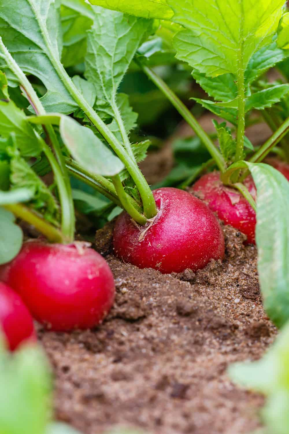 The risk of consuming an expired radish