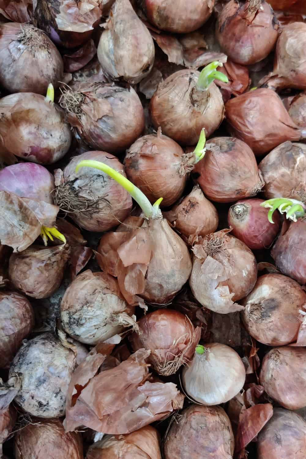Top Tips To Tell If The Shallots Have Gone Bad