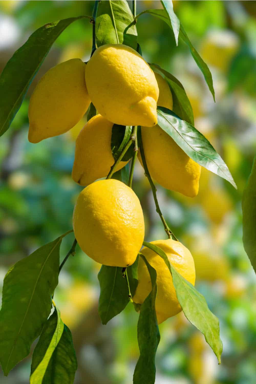 Do Lemons Go Bad How Long Does it Last