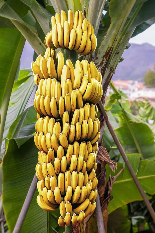 Does Banana Go Bad