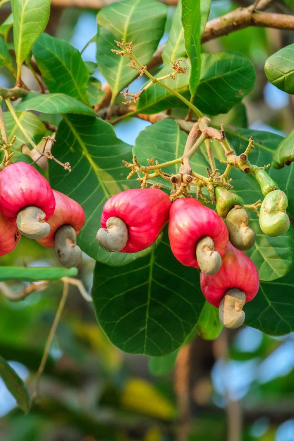 Do Cashews Go Bad? How Long Do Cashews Last?