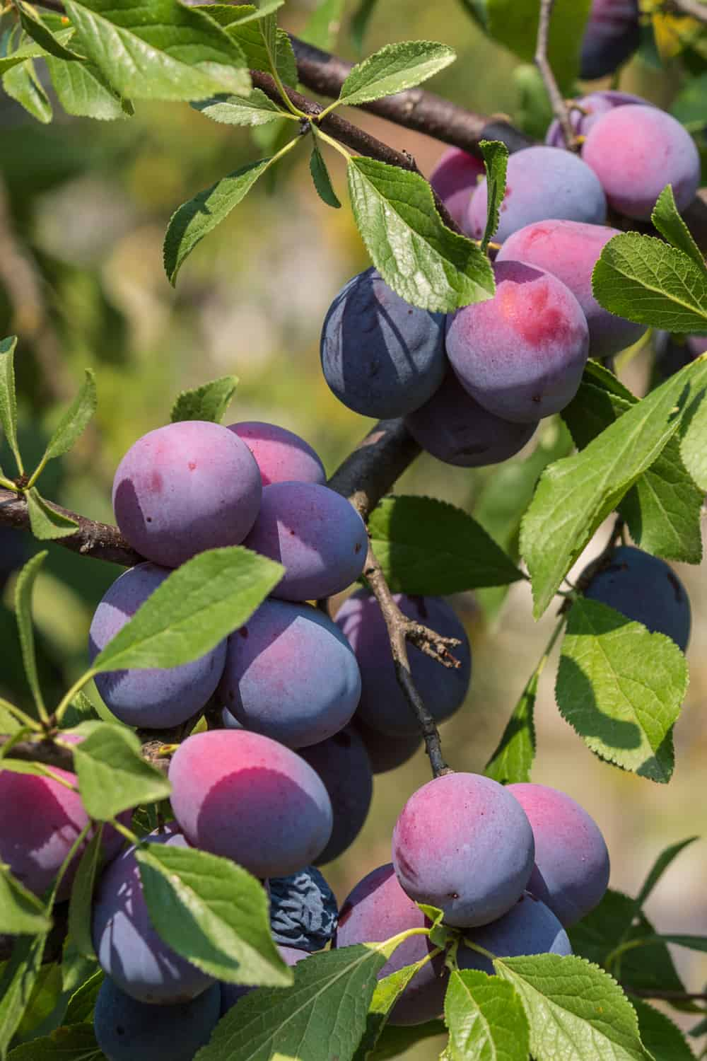 The Risk of Consuming Plums That Have Gone Bad