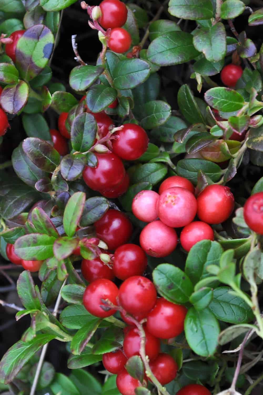 How Long Do Cranberries Last